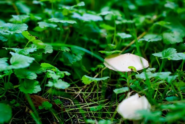 Champignon champignon dans l'herbe