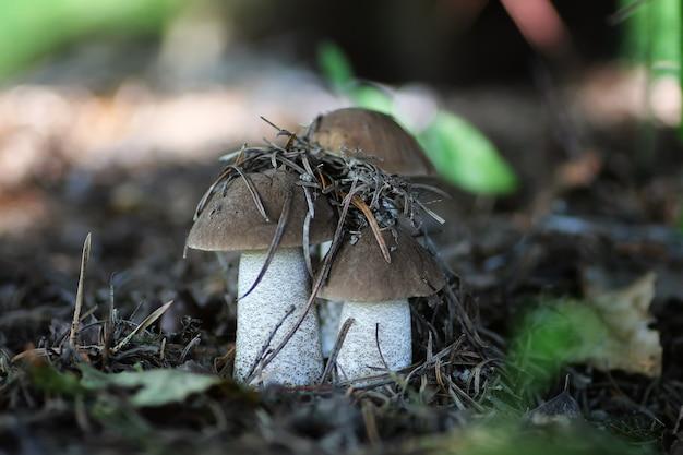 Champignon comestible de chapeau de boletus de chapeau brun