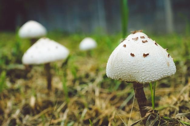 Champignon dans un champ d'herbe avec des feuilles., spot focus., vue rapprochée., champignon naturel en croissance.