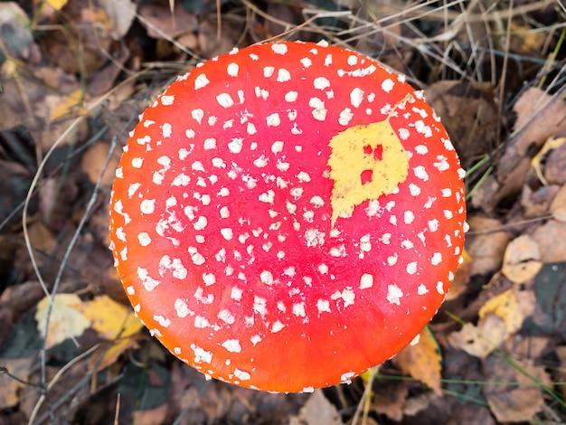 Champignon empoisonné de champignon rouge dans la forêt d'automne