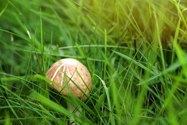 Champignon sur l'herbe