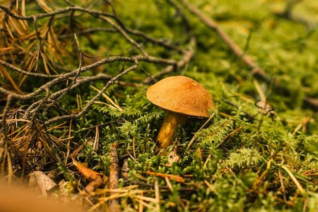 Le champignon mignon penny bun pousse dans l'herbe. la belle petite calotte brune d'un cep est au centre.