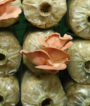 Champignon pleureur rose (pleurotus djamor) sur des sacs de frai