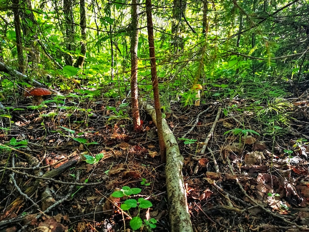 Le champignon pousse près d'un arbre dans l'herbe de la forêt illuminée par une journée ensoleillée d'automne