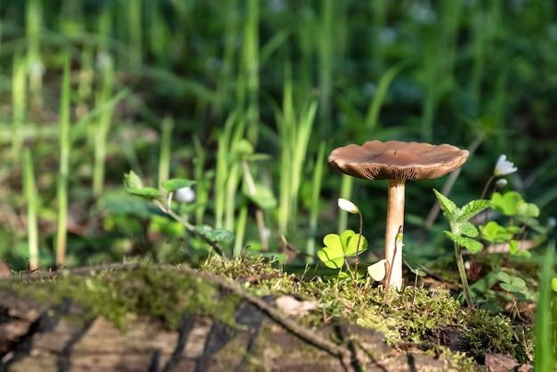 Le champignon pousse sur la souche moussue sur la surface de l'herbe verte