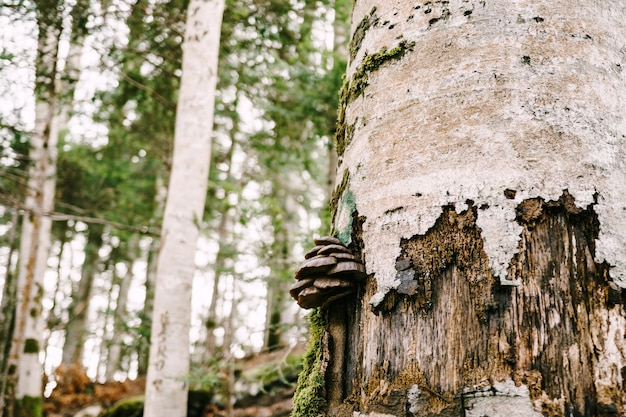Champignons d'amadou brun foncé sur un arbre dans la forêt