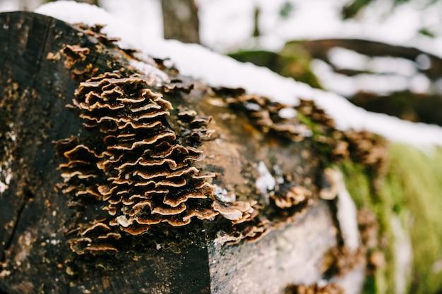Les champignons de l'amadou poussaient sur des arbres pourris abattus allongés sur la neige dans la forêt