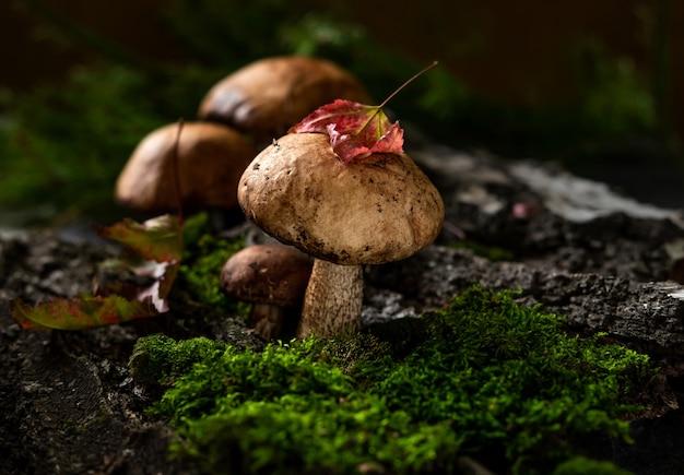 Les champignons boletus (leccinum scabrum) poussent dans les bois