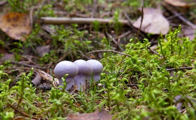 Champignons comestibles au goût excellent, lepista nuda. champignon lilas comestible dans la forêt