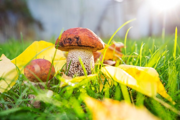 Champignons comestibles dans une forêt d'automne