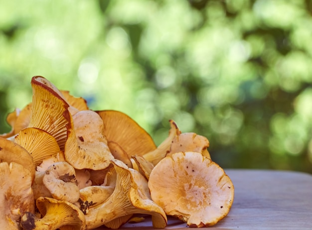 Champignons comestibles de girolles jaunes fraîches.