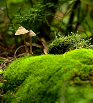 Champignons forestiers dans l'herbe.
