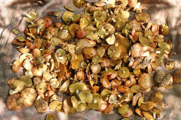 Champignons frais récoltés remplis de lumière solaire. suillus luteus.