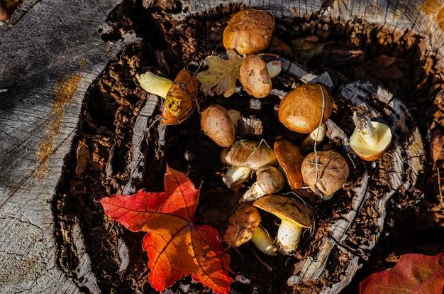 Champignons gras comestibles sauvages récoltés se trouvant sur la souche dans la forêt. vue de dessus