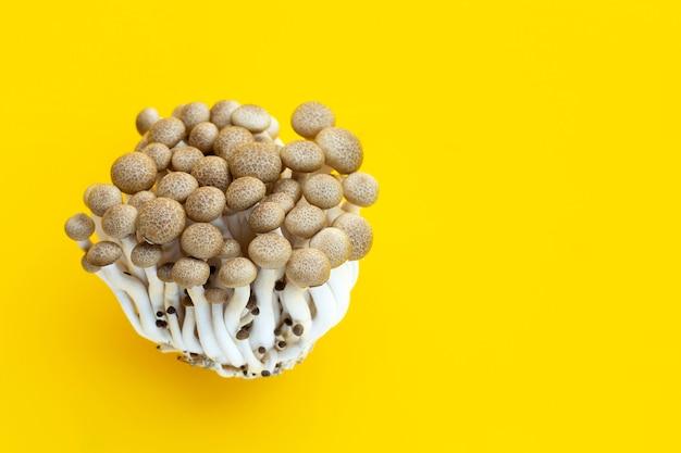 Champignons de hêtre brun sur surface jaune