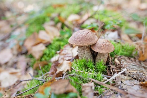 Des champignons mignons poussent dans l'herbe de la forêt. c'est un aliment diététique végétarien.