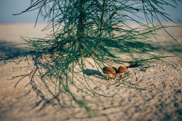 Champignons orange sous le pin sur la plage.