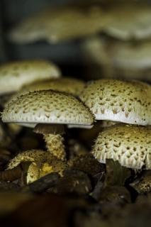 Champignons pholiota shaggy