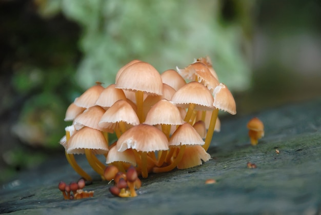 Champignons vénéneux dans une forêt