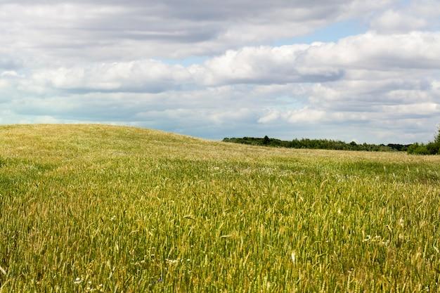 Champs agricoles avec des céréales et un grand nombre de mauvaises herbes et de fleurs de mauvaises herbes dessus