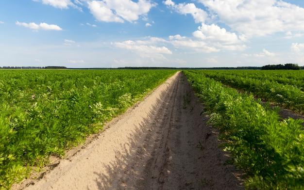 Champs agricoles avec des sillons dans lesquels des carottes sont plantées mais ont déjà germé