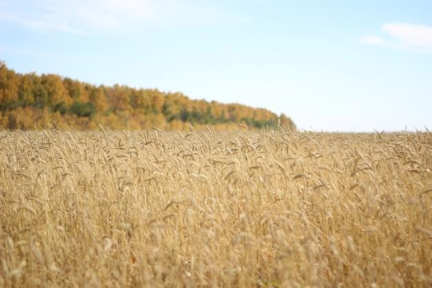 Les champs aux épis d'or de blé