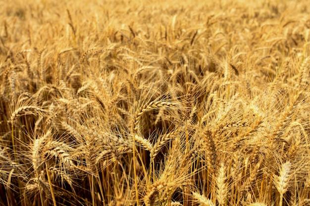 Champs de blé en été