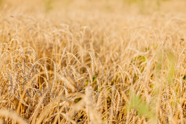 Champs de blé à la fin de l'été complètement mûrs