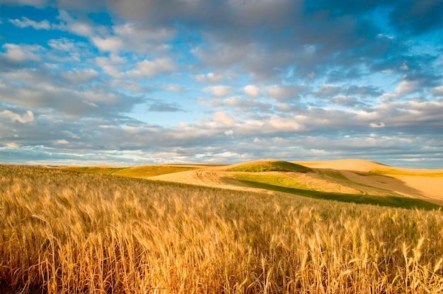 Champs de blé sous un ciel dramatique