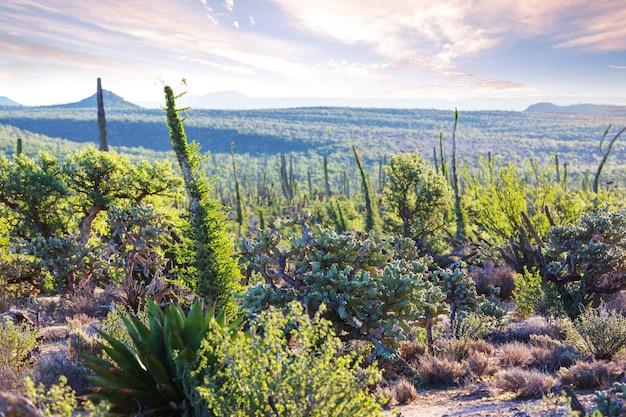 Champs de cactus au mexique, baja california