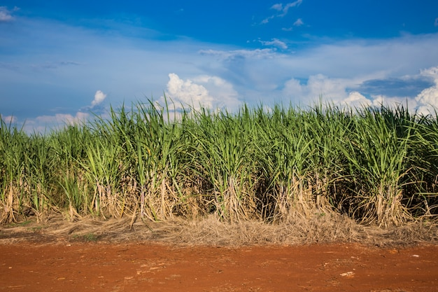 Champs de canne à sucre brésiliens sous un ciel bleu.