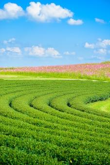Champs de cosmos et champ de thé vert avec un ciel bleu