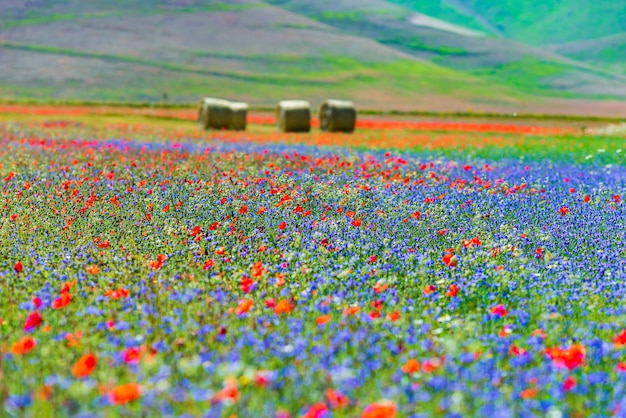 Champs cultivés en fleurs, célèbre plaine fleurie colorée dans les apennins, hautes terres de castelluccio di norcia, italie. agriculture de cultures de lentilles, coquelicots rouges et bleuets bleus.