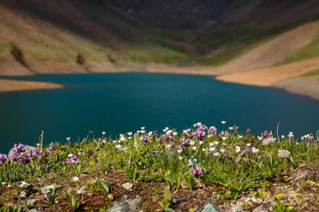 Champs de fleurs au bord du lac de montagne