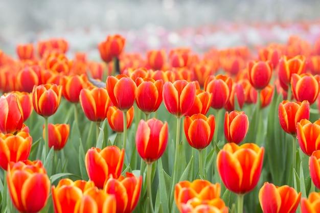 Champs de fleurs de tulipes