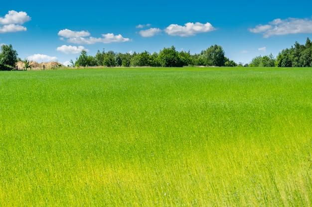 Champs de lin belle verdure pittoresque avec ciel bleu et nuages blancs.