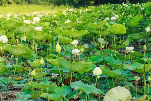 Champs de lotus au bord de la rivière