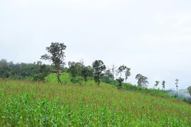 Champs de maïs. le jour de la rosée montagnes et beau ciel champ de maïs dans les montagnes.