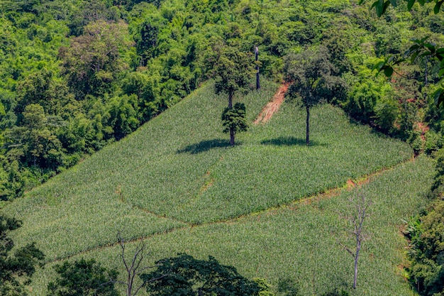 Champs de maïs sur les montagnes