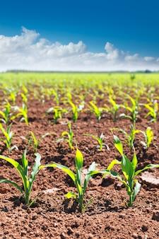 Des champs de maïs poussent en rangées dans l'agriculture californienne