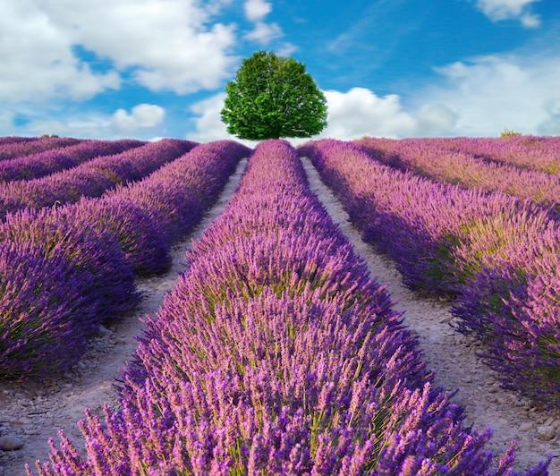 Champs parfumés à la fleur de lavande