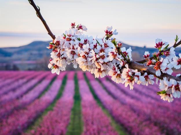 Champs de pêches en fleur à aitona, lérida, espagne