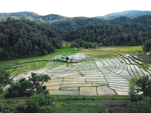 Champs de riz au début de la culture en asie