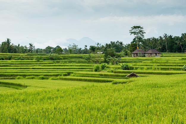 Champs de riz à bali