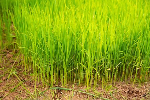 Champs de riz sur la couche de paddy étape avec un agriculteur à mae klang luang chiang mai thaïlande