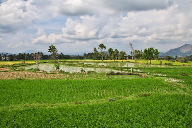 Champs de riz dans le petit village d'indonésie