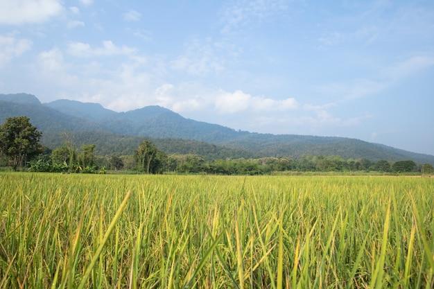 Champs de riz avec des montagnes et un ciel bleu.