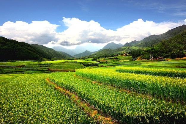 Champs de riz de mu cang chai, terrasse de riz en saison des pluies après la pluie. nature espace vert meilleur environnement sapa vietnam .