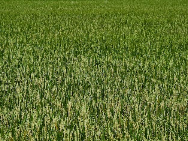 Champs de riz près de la récolte