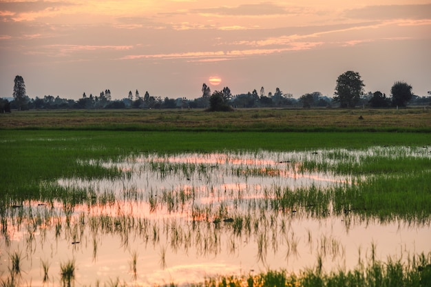 Champs de riz avec reflet d'étang avec coucher de soleil en campagne